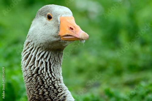 Greylag goose at Duddingston Loch, Scotland