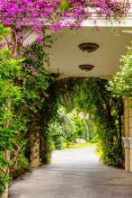 Bush With Bougainvilia Flowers In An Arch Of A House