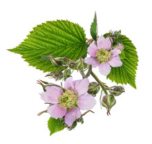 Blackberry Flower And Foliage Isolated
