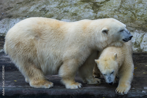 Tuinposter Ijsbeer The polar bear is one of the largest terrestrial carnivorous mammals.