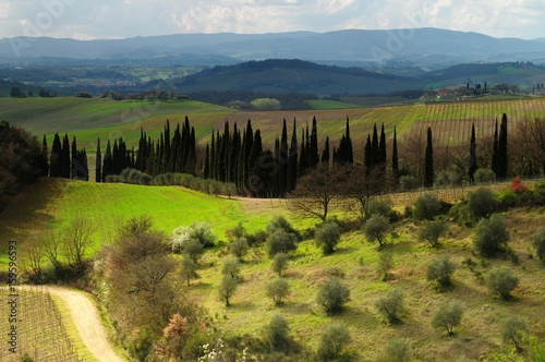 Spoed Fotobehang Zalm Beautiful Tuscan landscape with Olive Trees and cypress near Castellina in Chianti, Siena. Italy.