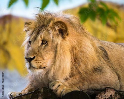 Zdjęcie XXL Portret lew w zoo