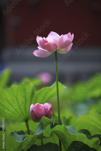 Foto op Aluminium Lotusbloem The lotus of summer blooming