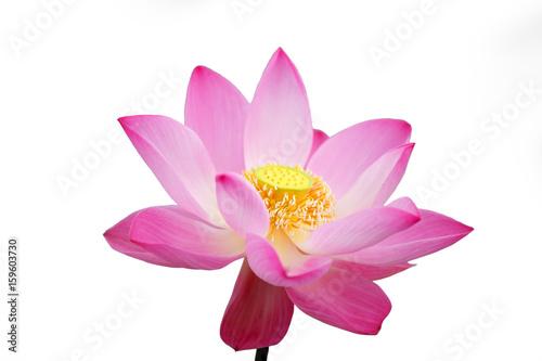 Staande foto Lotusbloem lotus flower isolated on white background.