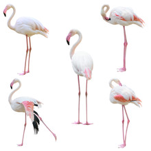 Greater Flamingo (Phoenicopterus Roseus) Isolated