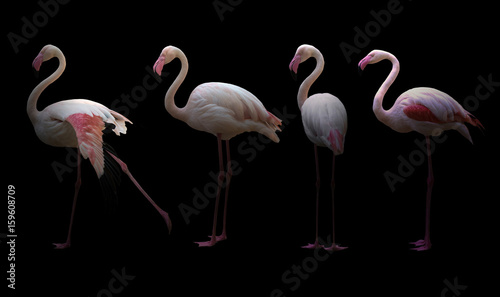Photo sur Toile Flamingo greater flamingo (Phoenicopterus roseus)