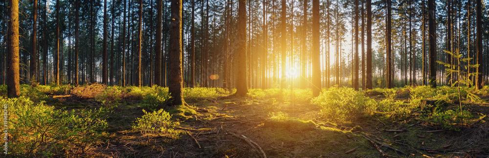 Fototapety, obrazy: Wald mit bei Sonnenuntergang panorama