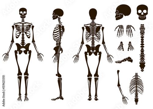 Human bones skeleton structure elements set. Skull collection ...