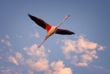 Single Flamingo Flying In The Blue Sky At Sunset