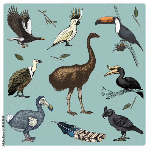 hand drawn vector realistic bird, sketch graphic style, set of domestic. griffon vultures and broad-billed parrot. rhinoceros hornbill and extinct species. moa, dodo and feather. Nest with eggs. Wall mural