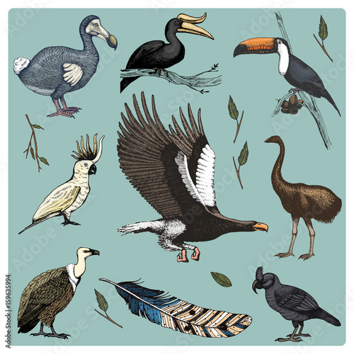 hand drawn vector realistic bird, sketch graphic style, set of domestic. griffon vultures, cockatoo and broad-billed parrot. rhinoceros hornbill and extinct species. moa, dodo and feather. Wall mural