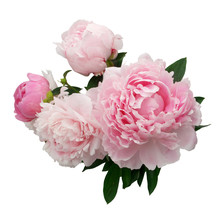 Pink Peony Flower Isolated On ...