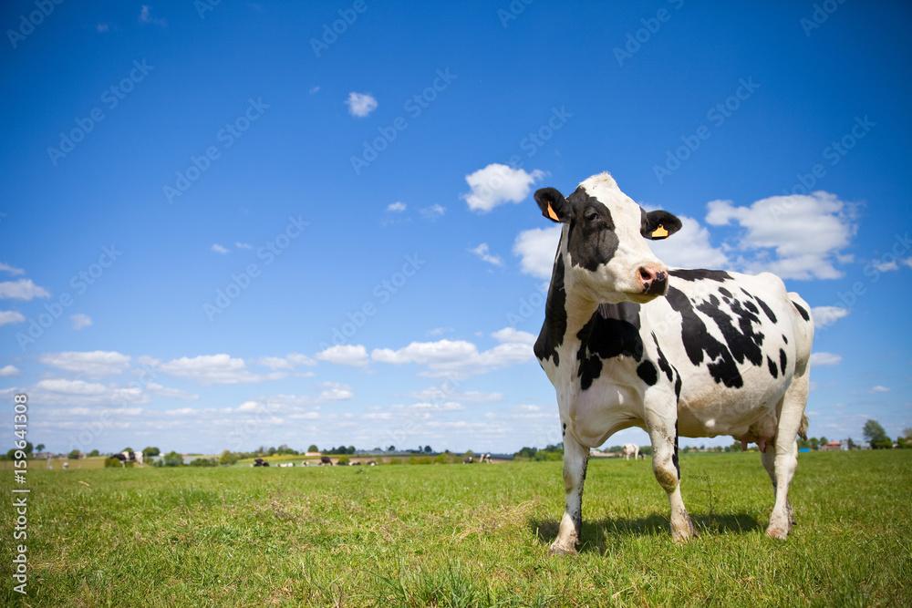 Vache Prim'Holstein en campagne