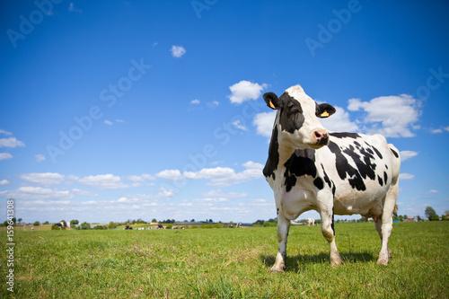 Vache Vache Prim'Holstein en campagne