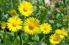 Doronikum Flowers In The Garden