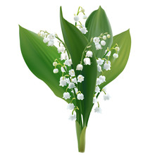 Convallaria Majalis - Lilly Of The Valley. Hand Drawn Vector Illustration Of A Bouquet White Spring Flowers And Lush Foliage On Transparent Background.