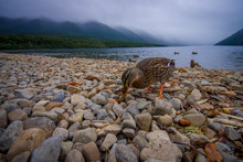 A Duck By The Lake In Queenstown, New Zealand