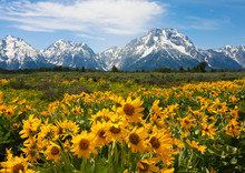 Wildflowers At The Grand Tetons