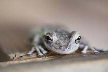 Tiny Tree Frog On Deck Railing...