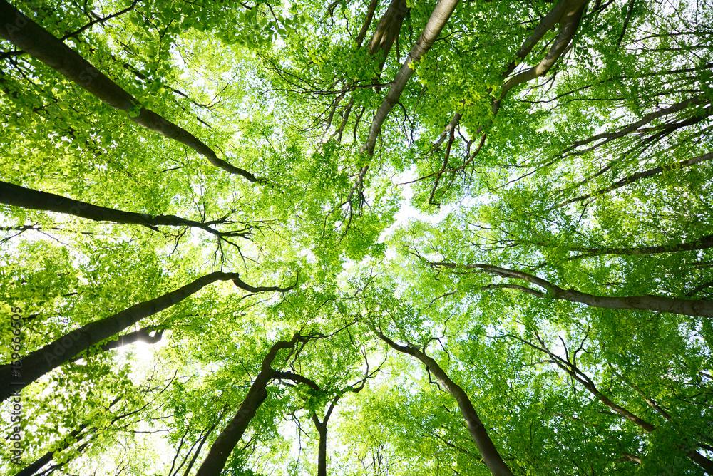 Fototapety, obrazy: Tree canopies