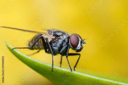Cuadros en Lienzo insect fly, green housefly on green leaves with yellow background