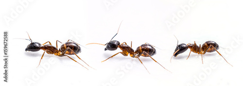 close up three ant on white background Wallpaper Mural