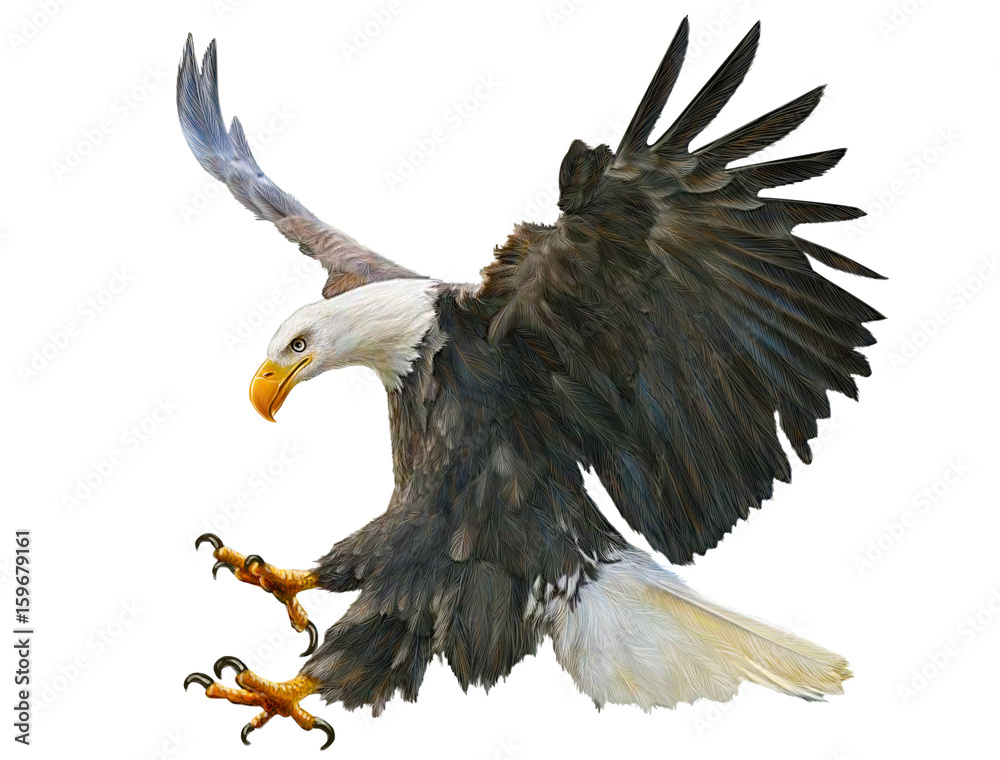 Fototapeta Bald eagle swoop attack hand draw and paint on white background illustration.