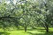 Blooming apple tree. tree