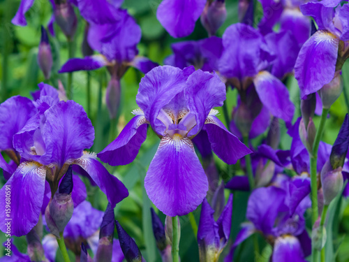 Foto op Aluminium Iris Iris Germanica, purple flowers and bud on stem at flowerbed closeup, selective focus, shalow DOF