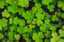Texture Of The Shamrock Raindr...