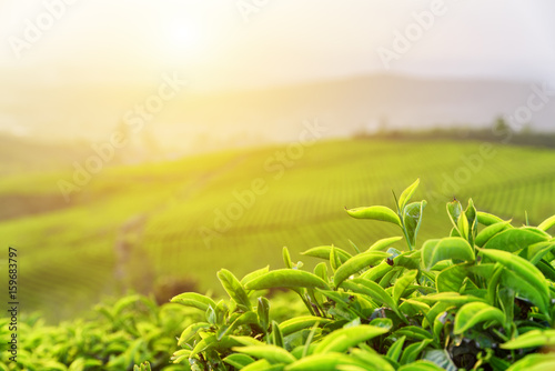 Fotomural Green tea leaves at tea plantation in rays of sunset