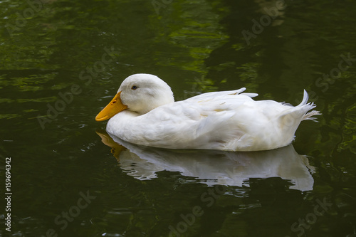 White duck in pond or lake with water background Poster
