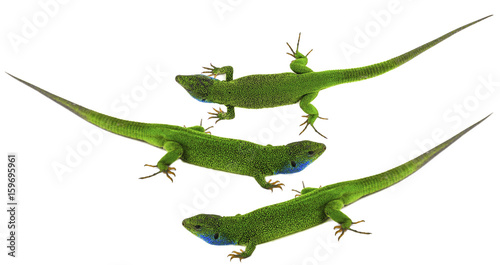 Cuadros en Lienzo Green lizard isolated