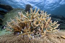 Staghorn Coral Reef