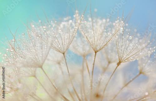 Poster Pissenlit Dandelion seeds - fluffy blowball