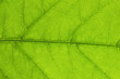 green leaf, macro, zoom