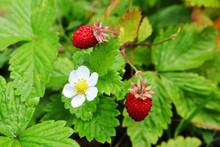 Ripe Wild Strawberry