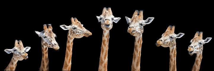 FototapetaSeven giraffes with different facial expressions