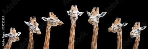 Photo Seven giraffes with different facial expressions
