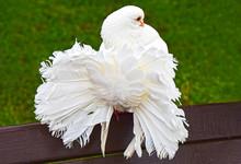 Bright White Dove Of Peacock