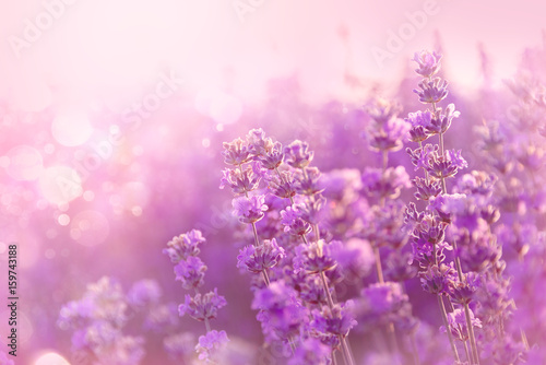 Spoed Fotobehang Lavendel Close up of blooming lavender flowers. Lavender flowers background.