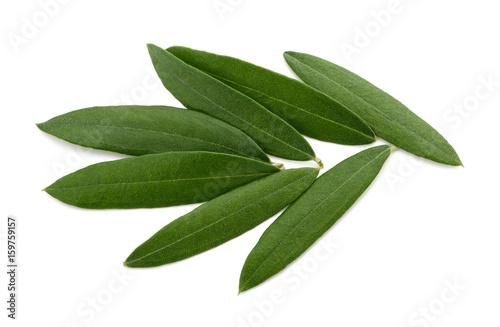 Fototapeta Fresh olive leaves obraz na płótnie