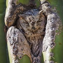 Western Screech Owl Sleeping I...