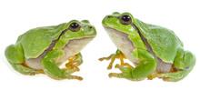 Tree Frog - Hyla Arborea
