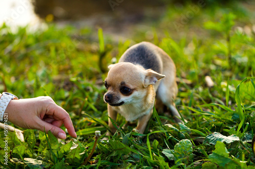 Fotografía  Little scared chihuahua dog on the background of green grass