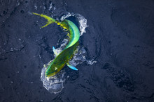 Mahi Mahi Jumping On Fishing Line