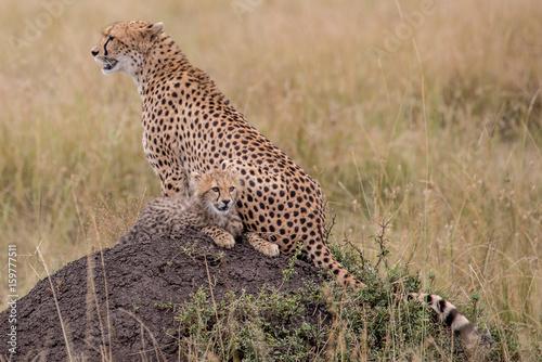 Staande foto Afrika CHeetah (Acinonyx jubatus)