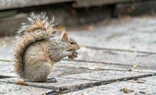 Eastern Gray Squirrel Eats A Walnut On Trinity Square In Toronto, Canada