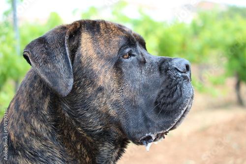 Fotografía  chien  cane corso  au vert