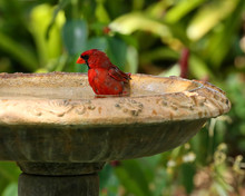 Male Northern Cardinal Sits In...